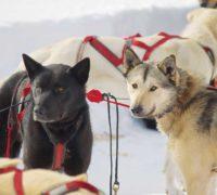 2018-UP200-Grand-Marais-dogs